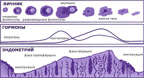 Как нарастить эндометрий для зачатия быстро: норма, какой должна быть толщина эндометрия?