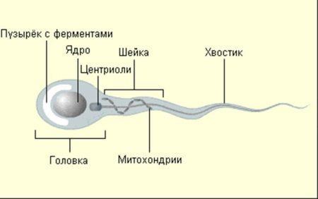 Морфология сперматозоидов по Крюгеру: как улучшить, норма и причины плохой морфологии