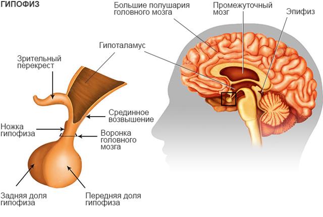 Роль щитовидной железы, тимуса и гипофиза
