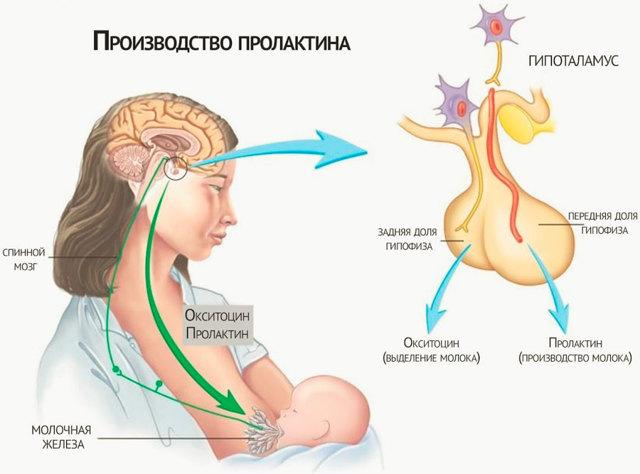 Окситоцин во время родов и после них: плюсы и минусы, последствия
