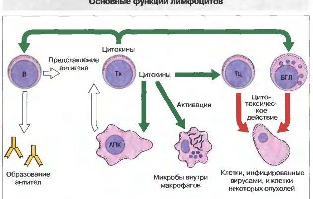 Нормы и причины изменений показателя LYM в анализе крови