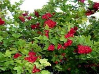 Калина как использовать ягоды