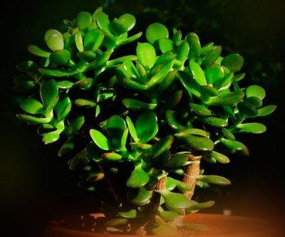 Как применять полезное денежное дерево от геморроя