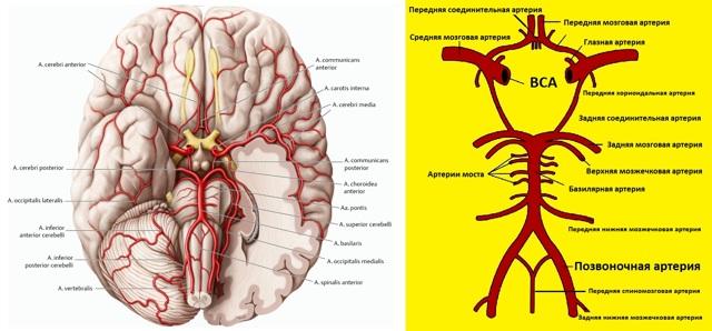 Показания и правила проведения УЗДГ сосудов головы и шеи