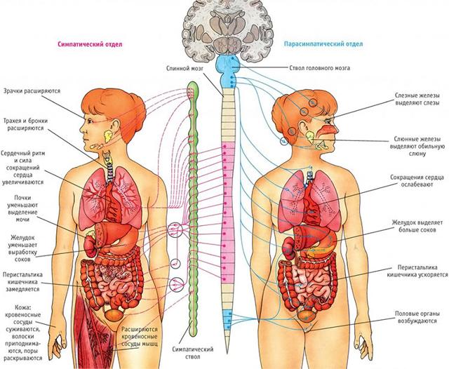 Особенности вегетососудистой дистонии по гипотоническому типу