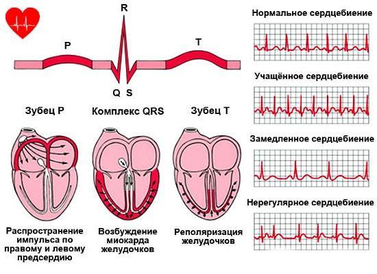 Пульс нормального человека в спокойном состоянии