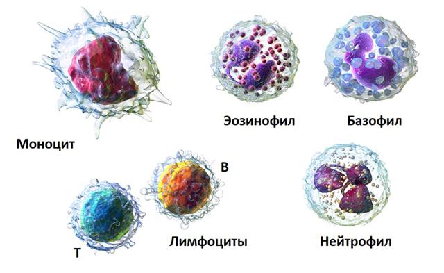 Уровень лейкоцитов в крови ребенка: норма и причины изменения