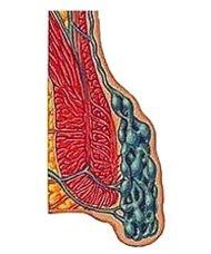 Что представляют собой геморроидальные узлы?