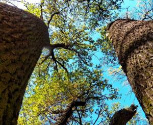 Как кора дуба используется при геморрое