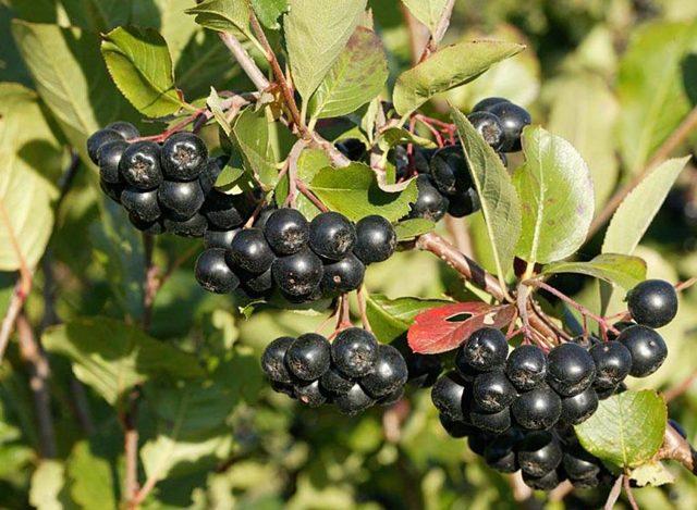 Правила выбора и применения ягод для снижения давления
