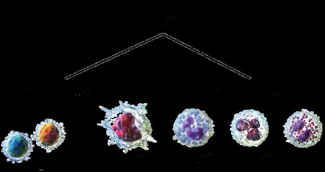 Каков нормальный объем лейкоцитов в крови?